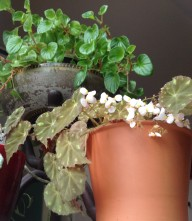 Photo of tiger's eye begonia with busy lizzie in the background