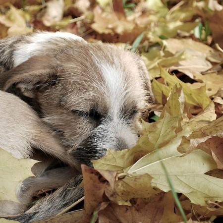 Sleeping dog in autumn leaves