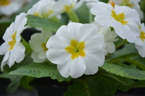 Close up of primroses