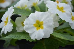 Close up of primroses