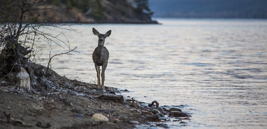 Mule deer on the edge of a lake