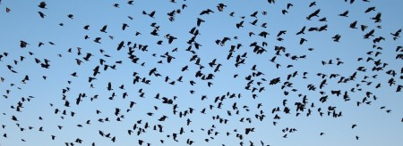 Crows flying in a blue sky